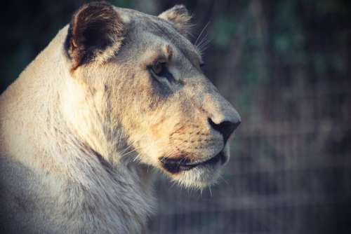 Lion Animal Big Cat Lioness Female Predator Cat