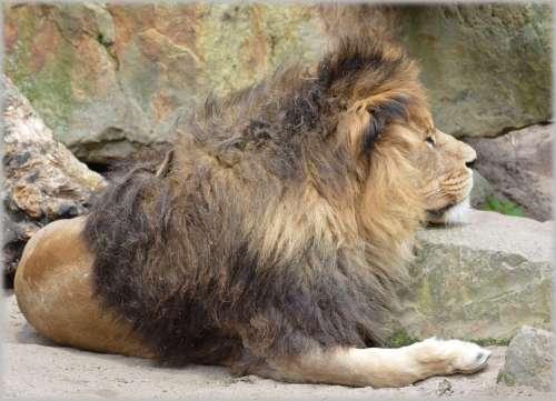 Lion Lioness Wildlife Hunter Animal Animals Zoo