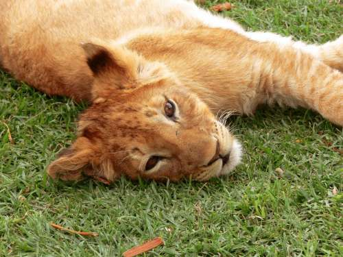 Lion Lion Cub Big Cat Cub Lion Relaxed Relaxed