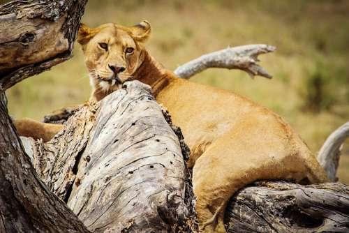 Lion Serengeti National Park Africa Tanzania