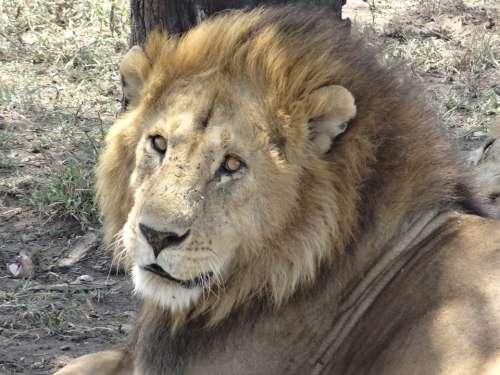 Lion Nap Look