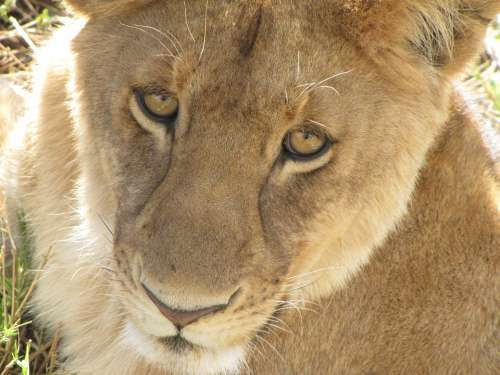 Lion Close Up Tanzania