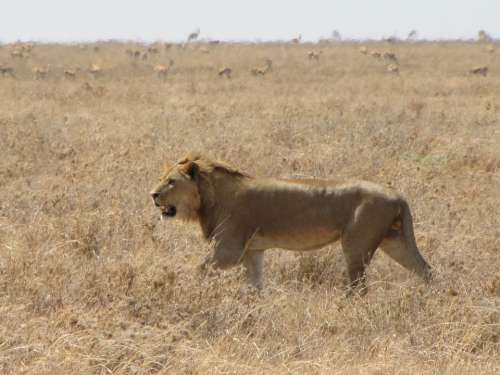 Lion Runs Animals Background Hunting Tanzania