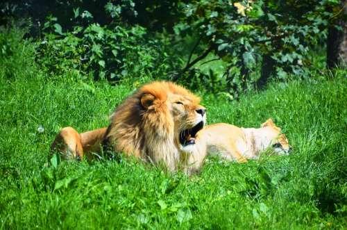 Lion Wild Animals Animal Sleep Yawn