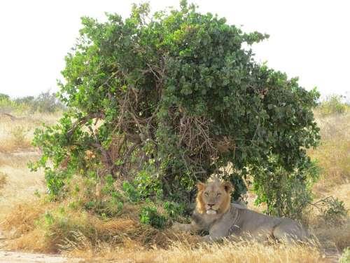 Lion Shade Africa Wildlife Animal Wild Mammal