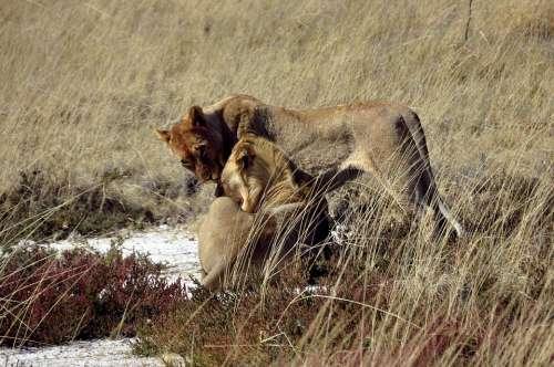 Lion Animals Safari Affection Wild Savannah