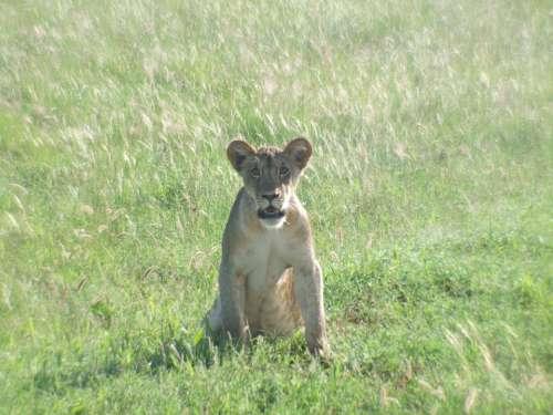 Lion Cub Lion Wildcat Predator Carnivores Animal