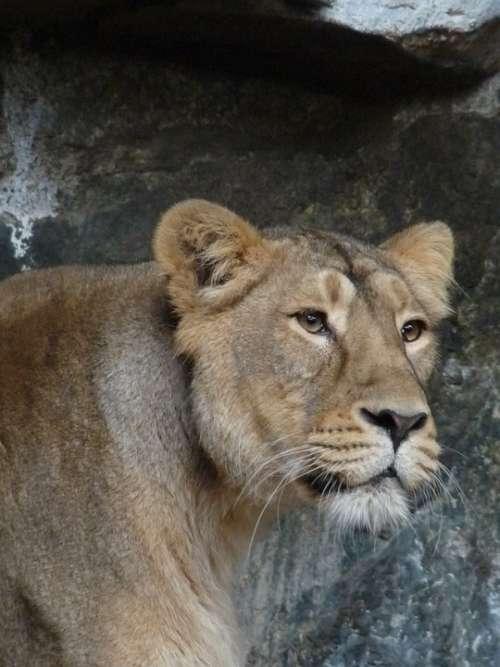 Lioness Animal Predator Wild Big Cat Lion