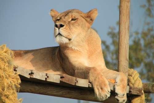 Lioness Animal Savannah