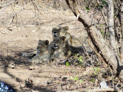 Lioness Cubs Indian Lion Gir Forest Lion Animal