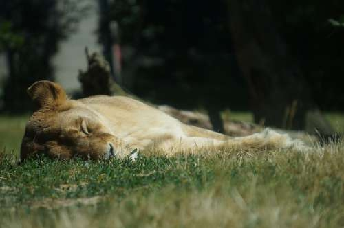 Lioness Lion Zoo Animal Sleep Grass