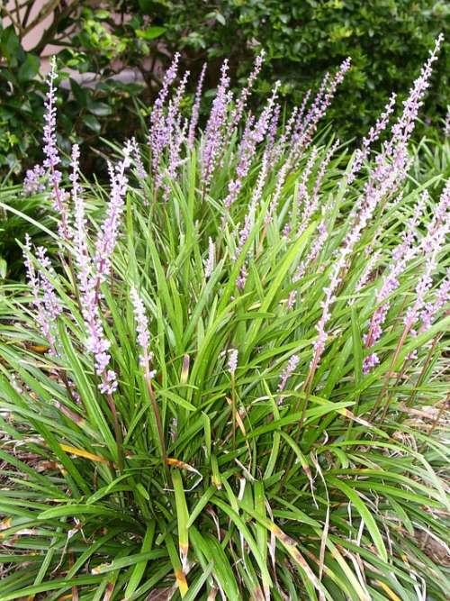 Liriope Flower Lily Grass Grass Spring Summer