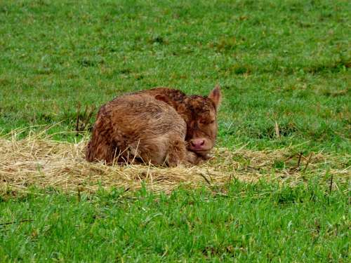 Little Calf Pasture Animal