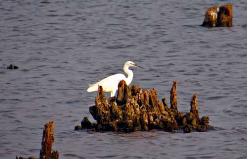 Little Egret Egretta Garzetta Yellow-Footed Egret