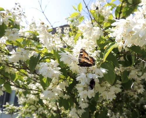 Little Fox Aglais Urticae Butterflies Butterfly