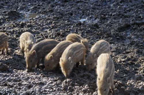 Little Pig Litter Wild Boars Piglet Young Animals