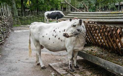 Livestock Cow Animal Agriculture Farming Cattle