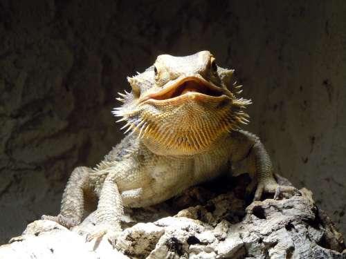 Lizard Reptile Monitor Dragon Prickly