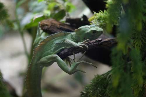 Lizard Reptile Green Camouflage Disguised