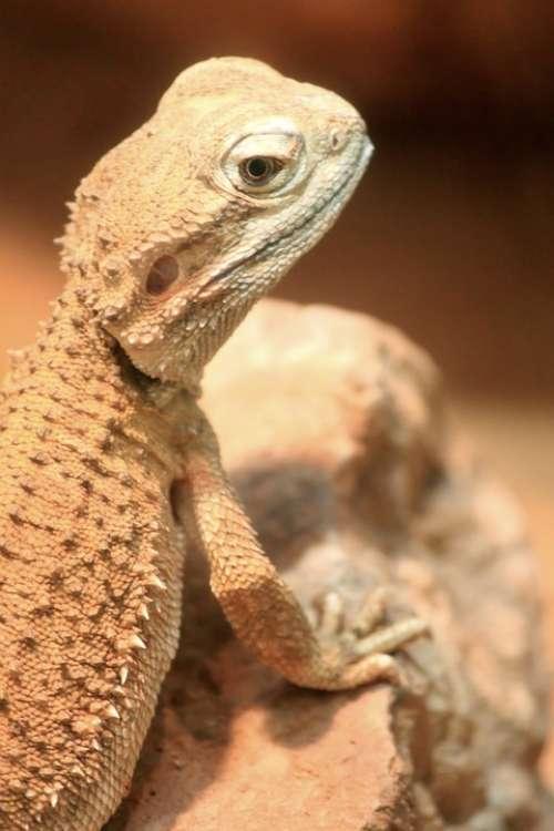 Lizard Reptile Scaly Animals Animal Stones Desert