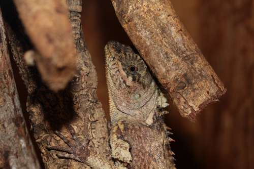 Lizard Reptile Terrarium Urtier Dry Hot Jungle