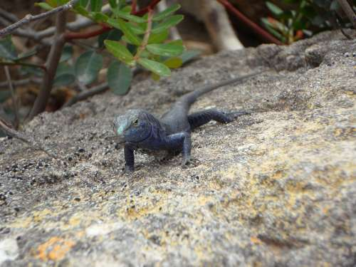 Lizard Endemic Cabrera Reptile Animal Creature