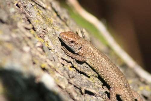Lizard Animal Marron Tree Macro Nature Autumn