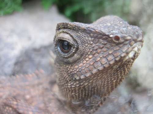 Lizard Eye Reptile Animal Head Scale Creature
