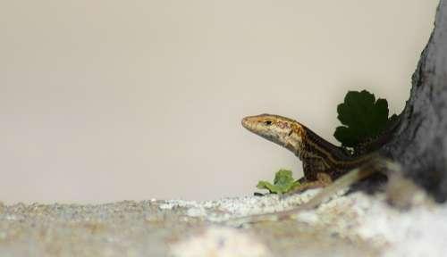 Lizard Reptile Small Animal Head
