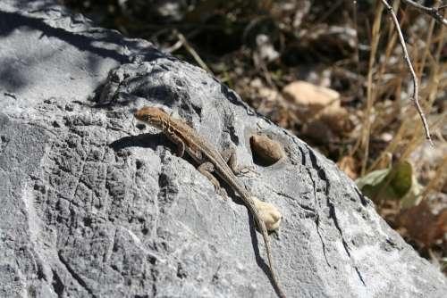 Lizard Stone Reptile Rock Nature
