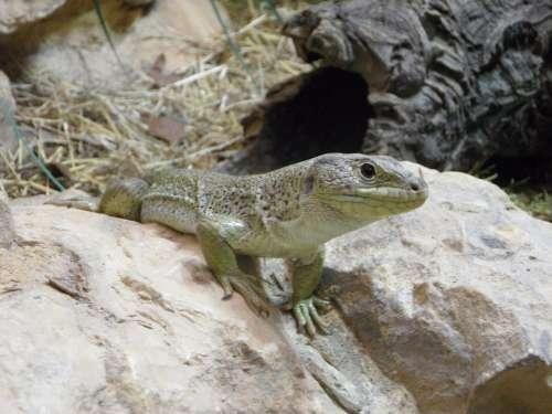 Lizard Reptile Animal Terrarium Zoo Steinig