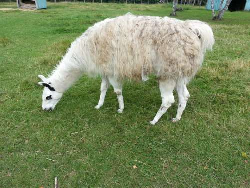 Llama Animal Grass Nature Pasture Pasturage