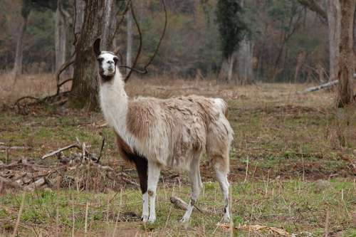 Llama Animal Alpaca Mammal Wildlife Nature