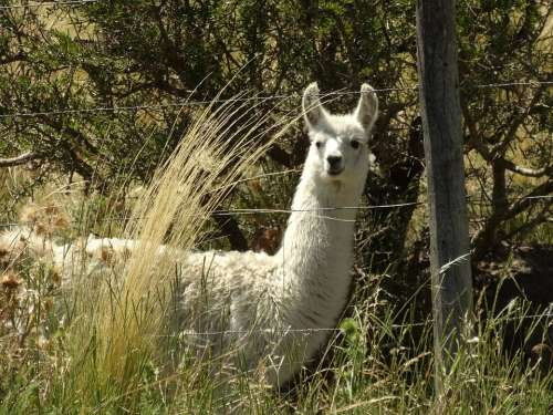 Llama Grass Argentina Animal Nature Mammal