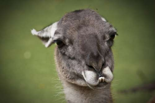 Llama Lama Animals Cute Nature Animal Life
