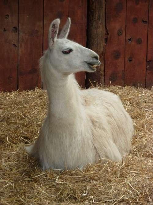 Llama Camelid Wool Peru Farm Livestock Exotic
