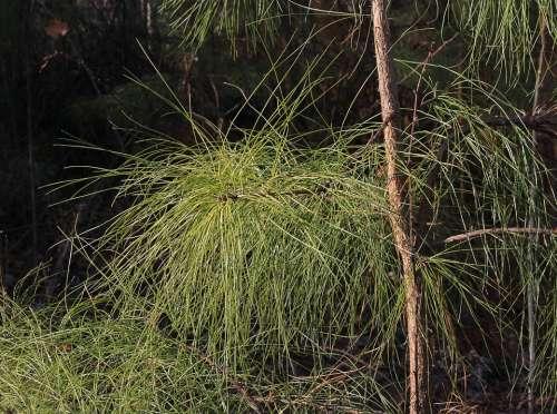 Loblolly Old Field Pine Needles Tree Branch