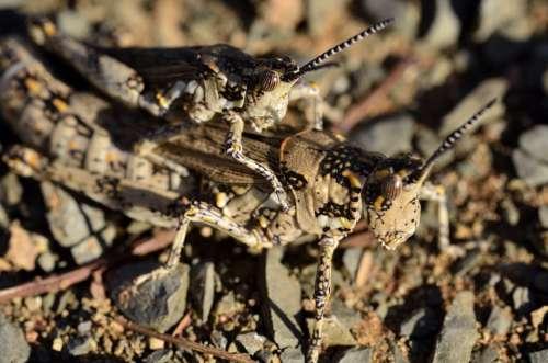 Locust Grasshopper Hopper Bug Jump Mating Insects