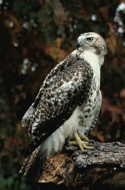 Log Standing Hawk Tailed Red Falcons Hawks Birds