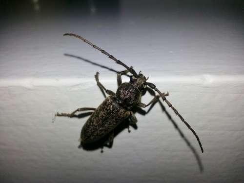 Longhorn Beetle Longhorn Borer Beetle Beetles