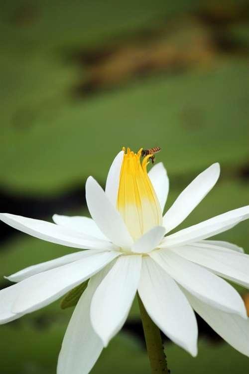 Lotus Flower White Blossom Petal Lotus Flower