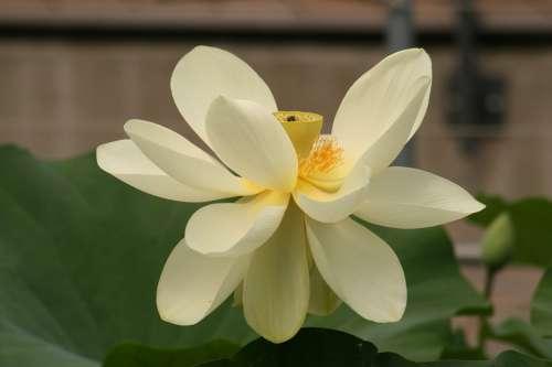 Lotus Blossom Water Lily Flower Aquatic Plant