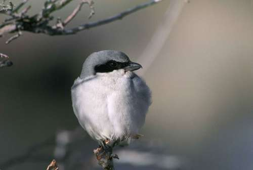 Ludovicianus Lanius Branch Bird Shrike Loggerhead