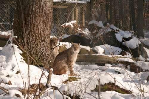 Lynx Lynx Lynx Eurasischer Lynx Cat Wildcat