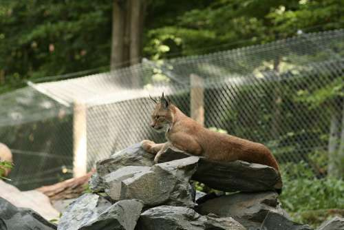 Lynx Felidae Lynx Lynx Cat Big Cat Wildcat Zoo