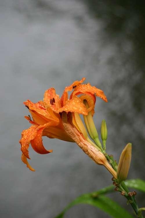 Lys Giverny Monet Impressionism Orange