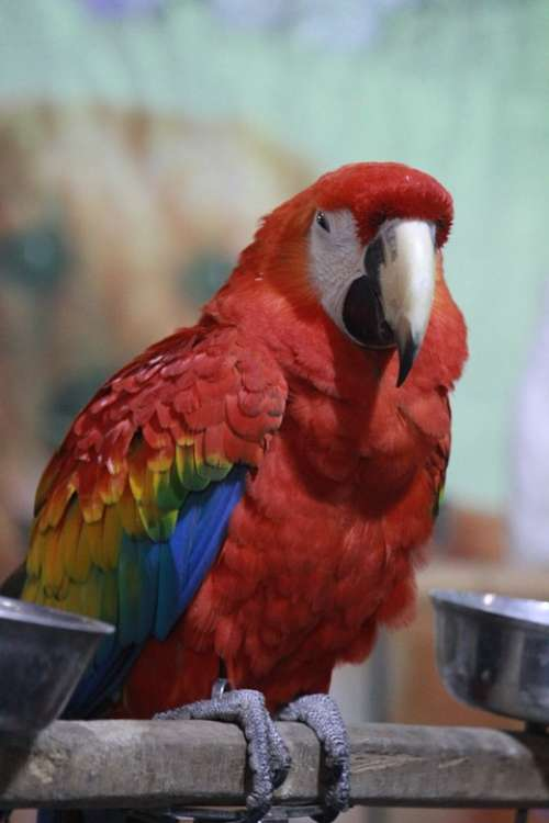 Macaw Parrot Scarlet Bird Red Exotic