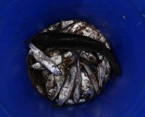 Fish Drying Indian Oil Sardine Sardinella Longiceps