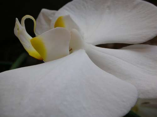 Macro White Orchid Flowers Tropical