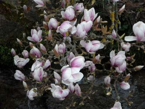 Magnolia Bloom Flowers Pink Bush Plant Blossom